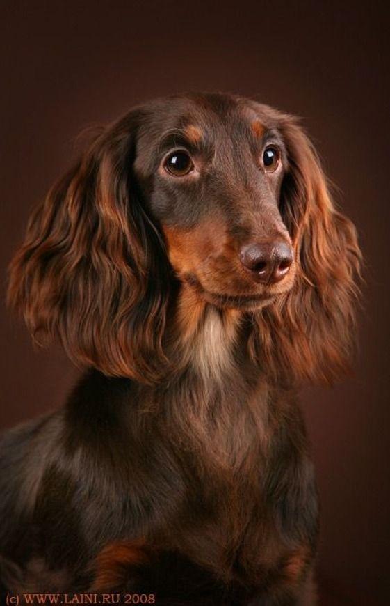 Dachshund Weiner Dog Puppies Dachshund Long Haired Dachshund