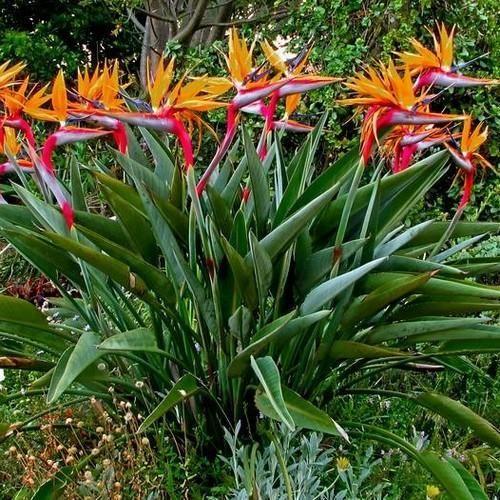 Bird Of Paradise Flower Seeds Strelitzia Reginae 5 Seeds Birds Of Paradise Plant Paradise Plant Beautiful Flowers Garden