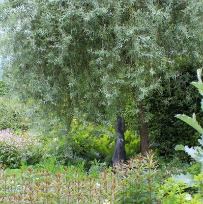 Den ægte pilebladet pære, pyrus salicifolia minder om de krogede ...