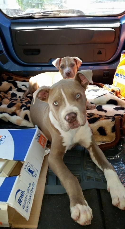 Meet Lilly A Petfinder Adoptable Pit Bull Terrier Dog Kingston