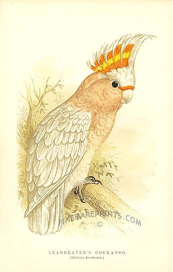 Famous Lithograph Prints | Cockatoo from Antique Prints of Parrots by Russ. Genuine antique print ...