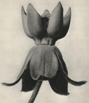 Karl Blossfeldt (1865-1932) botanical fine art photographer -