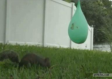 Squirrel vs. Water Balloon