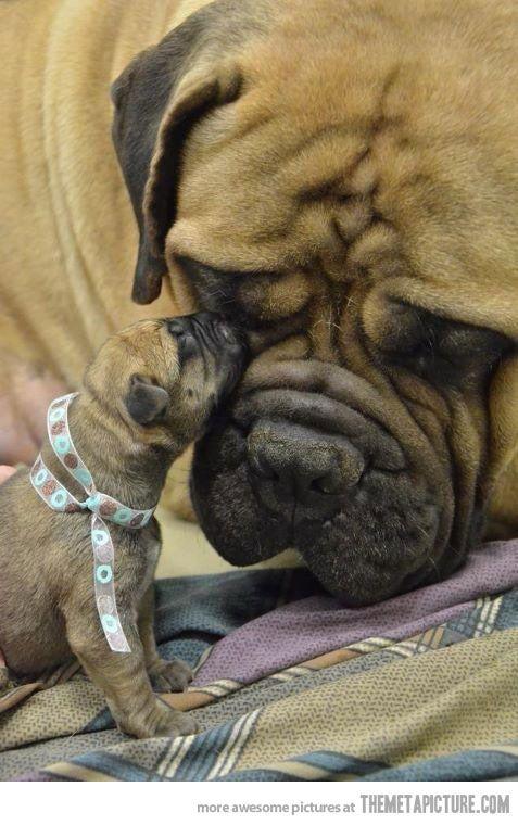 Bullmastif pup. Yes