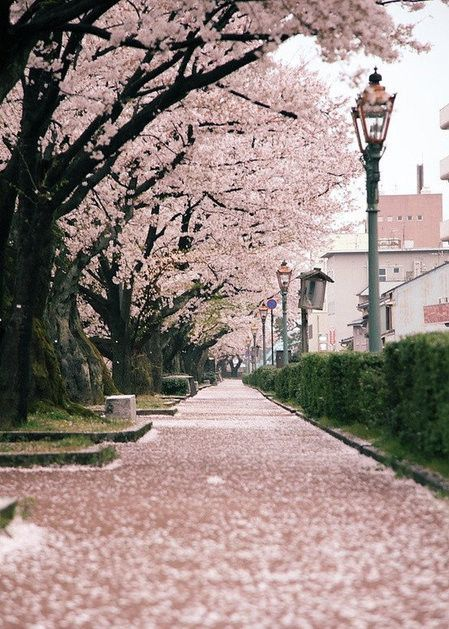 Sakura, Janpan. Dreamland travel. Re-pin if you like. Via Inweddingdress.com #destination #travel #photography