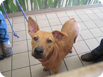 Ocala, FL - Italian Greyhound Mix. Meet HOPE, a dog for adoption. http://www.adoptapet.com/pet/14493820-ocala-florida-italian-greyhound-mix