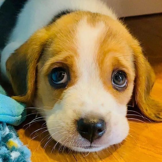 Check Out Our Store For Beagles And Other Dogs As Well In 2020 Beagle Puppy Dog Cat Beagle