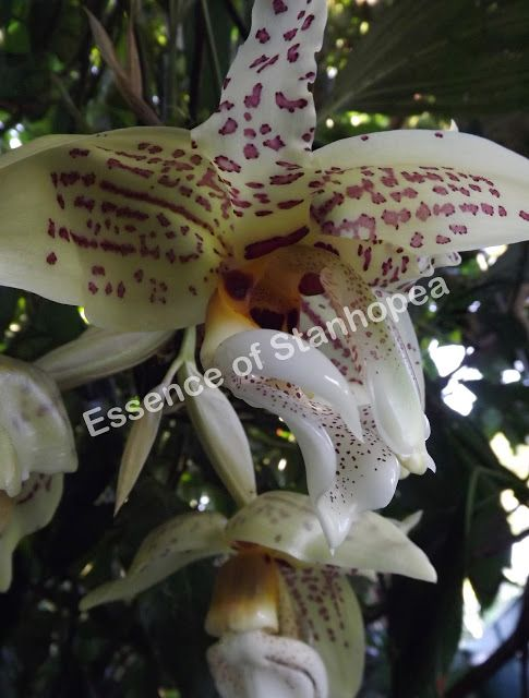 My Stanhopea Ruckeri X Nigroviolacea T S A Beautiful Cross With Large Showy Flowers Very Strong Robust Plant That Showy Flowers Flower Spike Flower Supplies