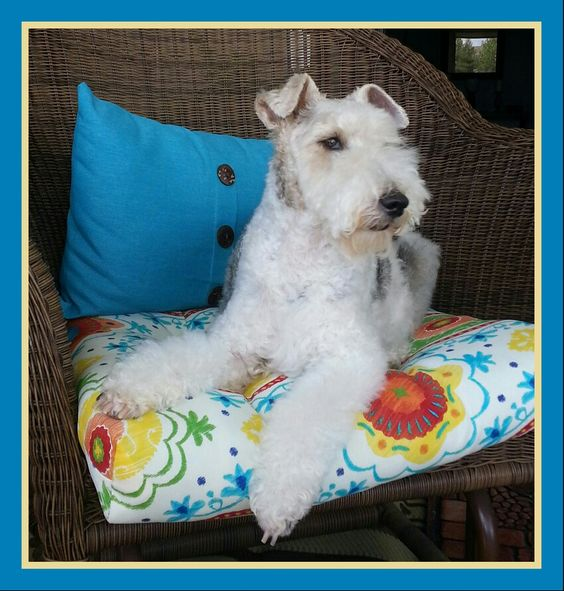 My beautiful Britney ..wire hair fox terrier♥