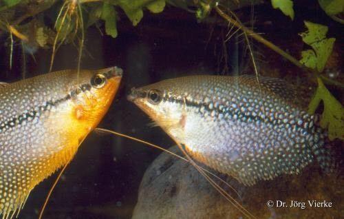 Tolles Parchen Mosaikfadenfische In Hamburg Bergedorf Ebay