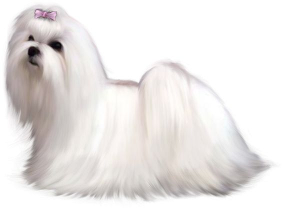 maltese dog clipart - photo #11
