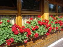 Geranios zonales rojos en travesaño de las ventanas del mesón Foto de archivo