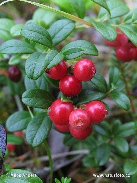 Mountain Cranberry, Rock Cranberry, Lowbush Cranberry, Lingonberry, Cow-berry, or Partridgeberry (Vaccinium vitis-idaea) were picked, boiled, and stored in oil