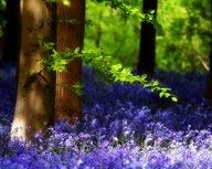 Great Picture Collection: Our local bluebell wood