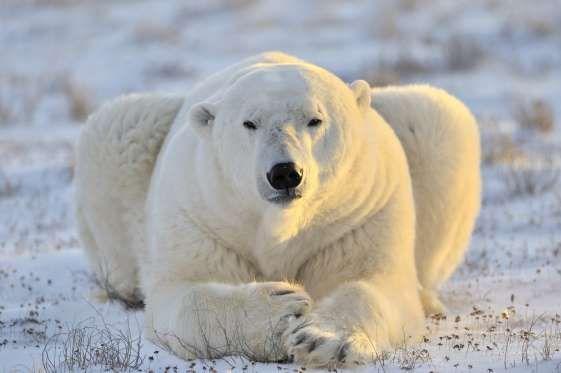 Os Animais Mais Assustadores Do Mundo Ours Polaire Ours Blanc Fond D Ecran Ours