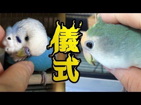 いつもの儀式 セキセイインコ コザクラインコ うめ ぱせり Budgerigar Lovebird Youtube セキセイインコ 儀式