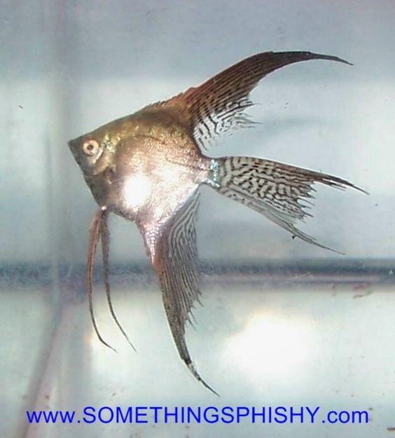 Angelfish - Smokey Leopard Veil Lace - Small