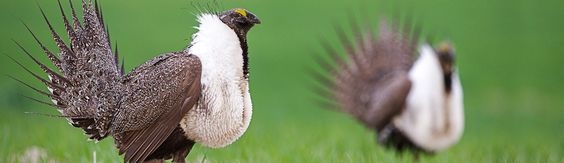 More than 80 conservation groups support a 10-million-acre mineral withdrawal to protect Greater Sage-Grouse habitat from hardrock mining.
