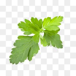 Coriander Leaves Parsley Green Vegetables Png Transparent Clipart Image And Psd File For Free Download Leaf Clipart Clip Art Mint Leaves