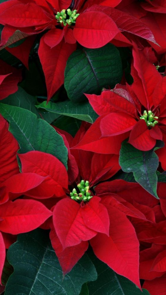 poinsettia, flowers, herbs, leaves, red, close-up