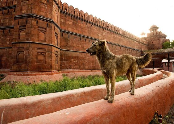 Indian mutt at Red Fort... kind of looks like Tramp from Disney...
