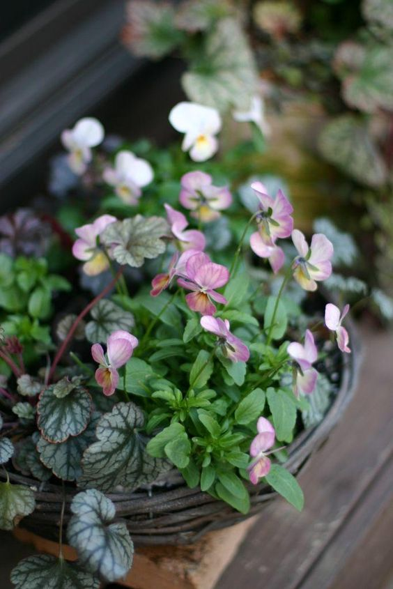 viola and strawberry begonia