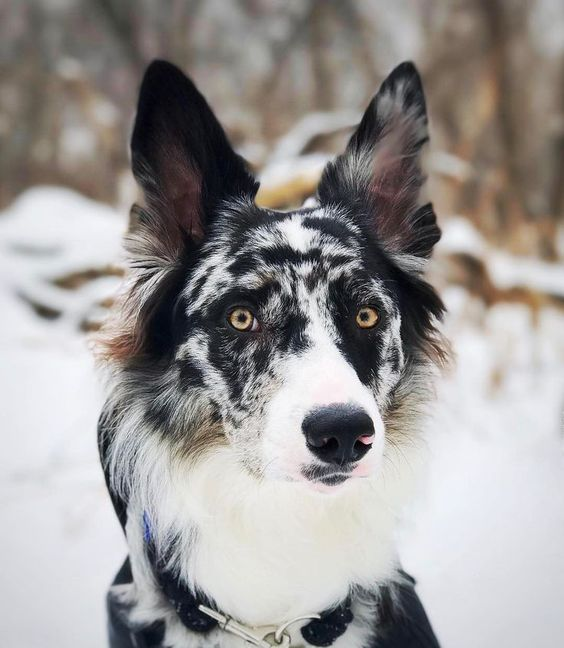 Sharp Looking Border Collie Bordercollie Border Collie Blue Merle Dogs And Puppies Puppies