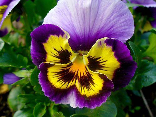 Pensamientos, bellas violetas 2