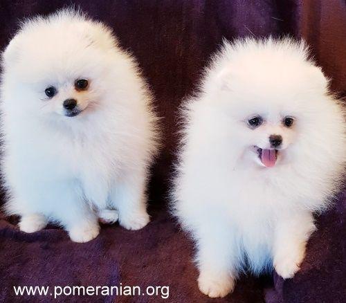 White Pomeranian Puppies White Pomeranians White Pomeranian Pups Dochlaggie Pomeranians White Pomer Pomeranian Dog White Pomeranian Puppies Pomeranian Puppy