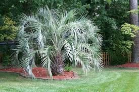 pindo palm front yard accent - It should take up a good amount of that 'corner' space eventually...