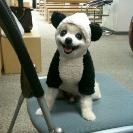 Lolita is definitely going to be a panda for Halloween!