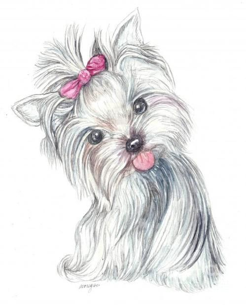 Line Drawing Of Yorkshire Terrier : Yorkie drawings the watermark in lower right corner