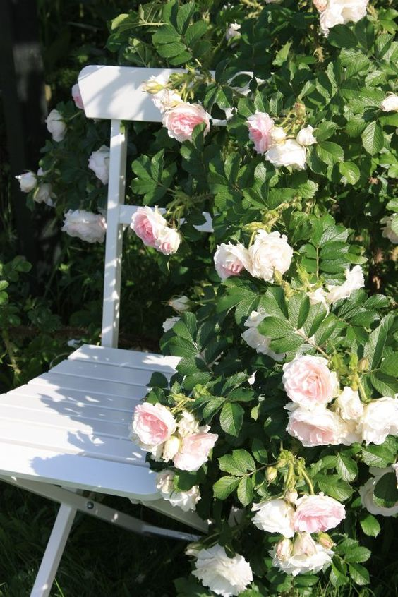roses surrounding a seating area  #HeathcoteIvory