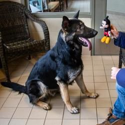 Jackson Mi German Shepherd Dog Meet Zeppelin A Pet For