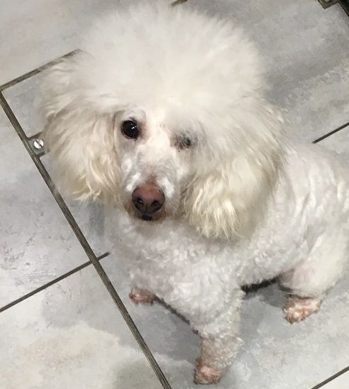 Rescue Dogs For Adoption In The Uk Pro Dogs Direct In 2020 Rescue Dogs For Adoption Dog Adoption Poodle Dog