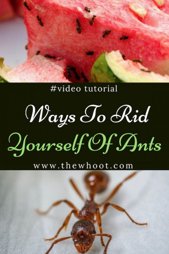 Best Ways To Get Rid Of Ants Easy Vide Instructions Get Rid Of Ants Rid Of Ants Ants