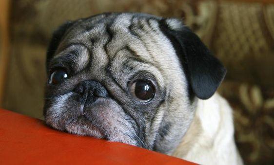 5 pasos sencillos para combatir los acaros de tu perro