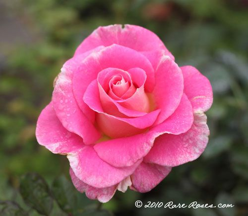 pictures of rare roses - Google Search