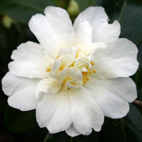 Gracing the garden in fall and winter, Camellia 'Polar's Ice' is an eye-catching early season camellia from the U.S. National Arboretum Collection. Tough and reliable, this evergreen camellia can be successfully grown in regions as cold as USDA Zone 6b.