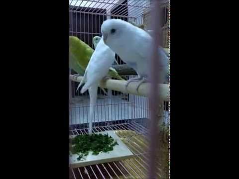 طيور البادجي Youtube Parakeet Sounds Parakeet Budgies