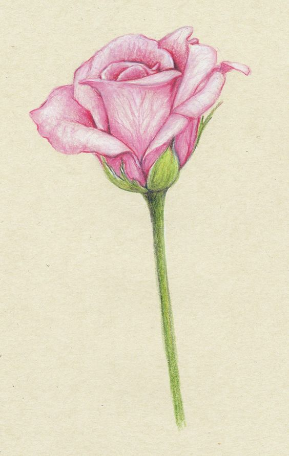 Rose Drawings | Drawings: ...pink roses...: Beautiful Flower, Rose Drawing, Drawings Of Rose, Pencil Drawing, Pink Rose, Drawing Of Flower, Beautiful Rose