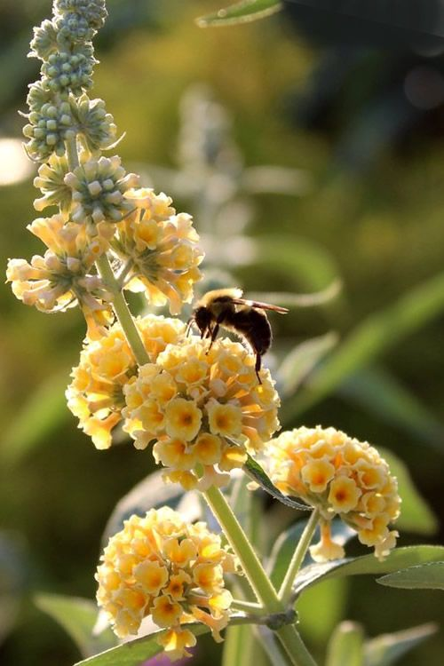 Buy Honeycomb Yellow Butterfly Bush For Sale Online From Wilson Bros Gardens Butterfly Bush Yellow Butterfly Bee Friendly Flowers