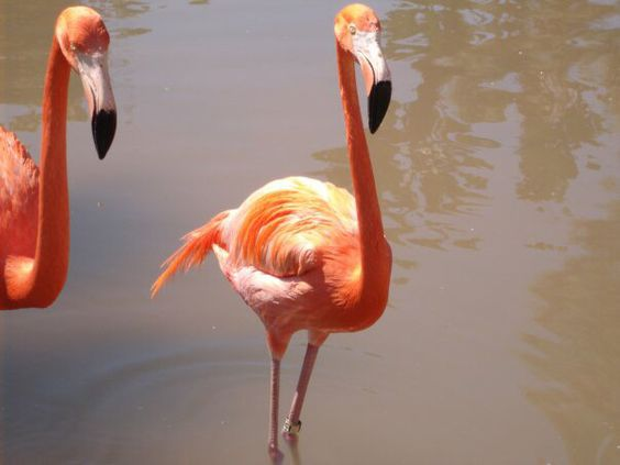 This flamingo posing for my shot.  San Diego zoo