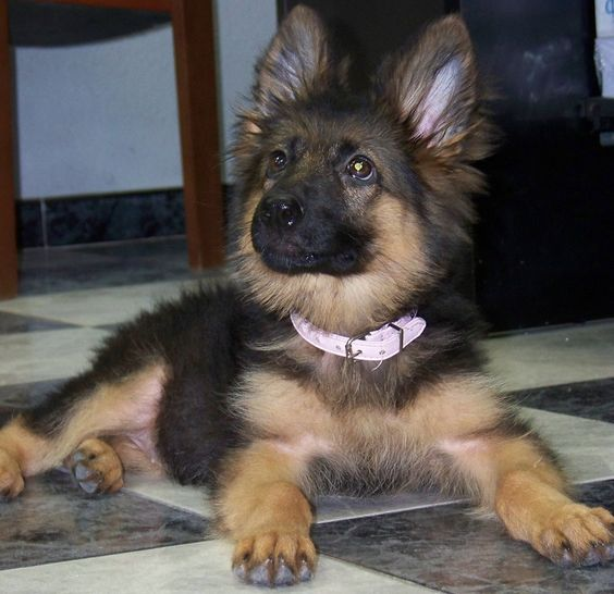 Cachorro de pastor alemán de pelo largo German Shepherd Zoe