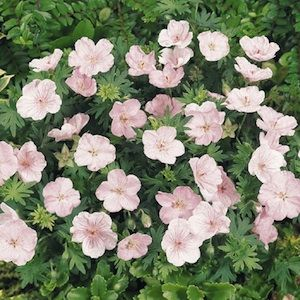 Geranium vision light pink seeds geranium sanguineum for Pink flower perennial ground cover
