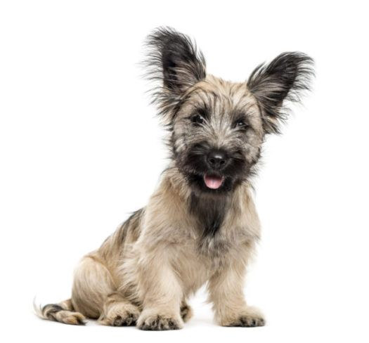 Skye Terrier Puppies For Sale If You Re Searching For Skye Terrier