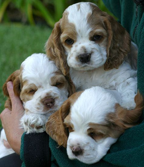 Cocker Spaniel Puppies By The Handful Spaniel Puppies Cocker Spaniel Puppies Cute Puppies