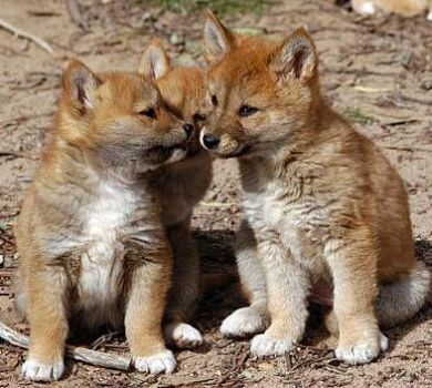 Dingo pups