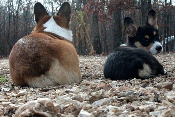 Mini and Cooper  cute corgi