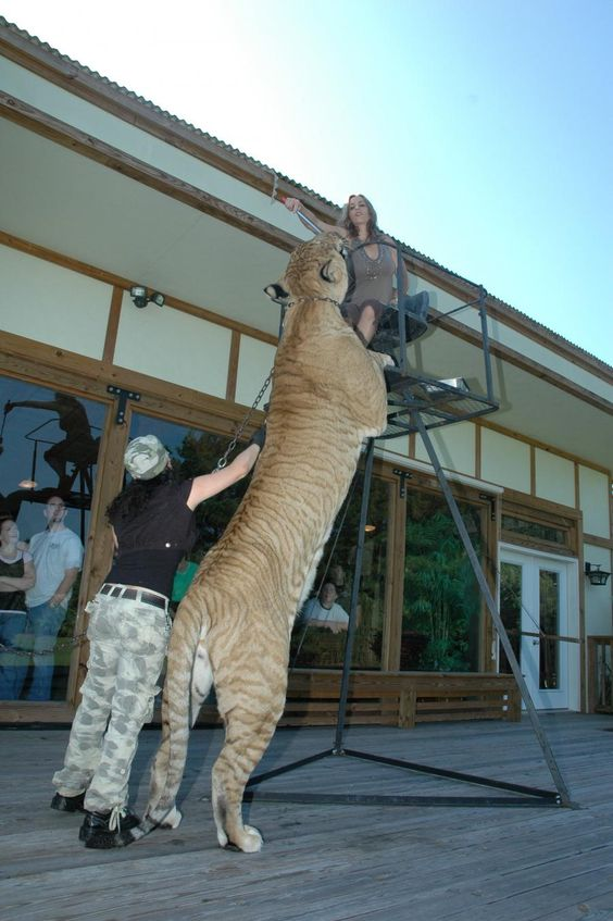 liger largest big cat in the world - Imprinted genes may ...